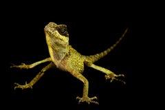 Mountain Horned Lizard (Acanthosaura crucigera) Royalty Free Stock Photo