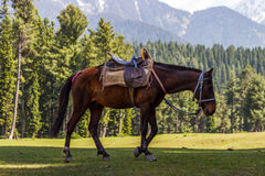 Mountain horse, beautiful pine forests Royalty Free Stock Photography