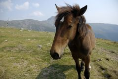 Mountain horse closeup with mountains in the background. Getting closer to the camera Stock Images