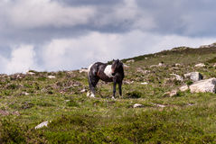 Mountain horse grazing. Horse on a summer mountain pasture, Wales, UK Stock Photo