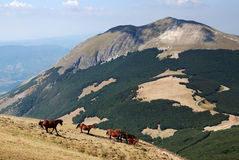 Mountain and horses. Horse running  on the mountain Royalty Free Stock Photos