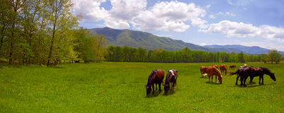 Mountain Horses. Horses grazing in the field with mountains in the background Stock Image