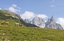 Mountain horses. Horses pasture in Dolomite mountains in Italy during the summer Stock Images