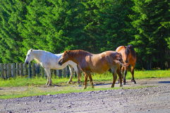 Mountain horses Stock Image