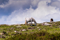 Mountain horses grazing. Horses on a summer mountain pasture, Wales, UK Stock Images