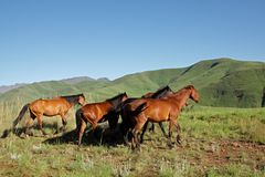 Mountain horses, South Africa Royalty Free Stock Image