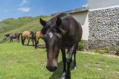 Mountain horses to Eho hut. The horses serve to transport supplies from and to the hut royalty free stock image