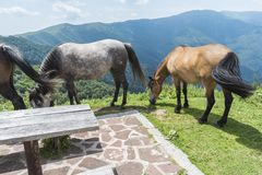 Mountain horses to Eho hut. The horses serve to transport supplies from and to the hut. royalty free stock photography