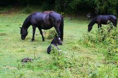 Mountain horses Stock Photography