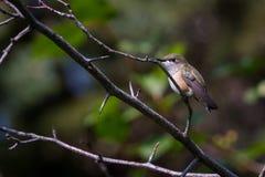 Mountain humming bird Royalty Free Stock Images