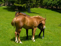Mountain husbandry of horses stock images