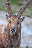 Mountain Ibex Stock Photo