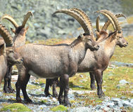 Mountain Ibex Royalty Free Stock Images