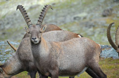 Mountain ibex Stock Photos