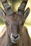 Mountain Ibex Royalty Free Stock Photo