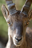 Mountain Ibex Royalty Free Stock Photography