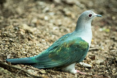 Mountain Imperial pigeon Royalty Free Stock Image