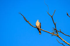 Mountain imperial pigeon Royalty Free Stock Photo