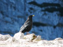 Mountain jackdaw Royalty Free Stock Image