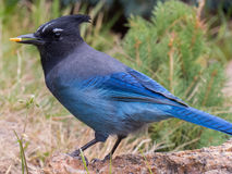 A Mountain Jay finds a seed near the Fall River in Colorado Royalty Free Stock Image