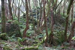 Mountain jungle (rhododendron forest) Royalty Free Stock Photo