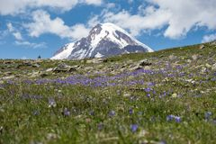 Mountain Kazbek in flowers field in Georgia. Mount Kazbek in Georgia view from flowers field. One of the major mountains of Caucasus Stock Photos