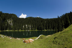 Mountain Lake. Cattle at the Lake in Julian Alps, Slovenia Stock Photo