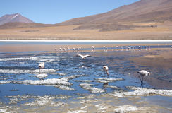 Mountain lake with flamingos in Bolivia Stock Photography