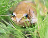 Mountain lake frog Royalty Free Stock Images