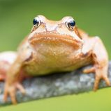 Mountain lake frog Stock Images