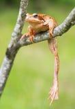 Mountain lake frog Royalty Free Stock Image