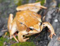 Mountain lake frog Royalty Free Stock Image