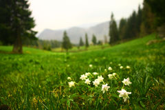 Mountain landscape. With little white flowers Stock Photography