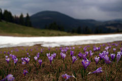 Mountain landscape. With spring crocus Stock Photo