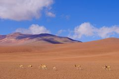 Mountain landscape of the Andes with grazing vicunas or guanacos, near Paso Jama, Chile, South America stock photography