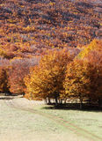 Mountain landscape autumn, with beeches Royalty Free Stock Images