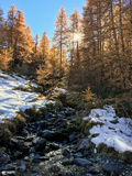 Mountain landscape in autumn: small torrent in a larch forest in Stock Photo