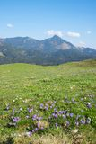 Mountain landscape bavaria with blooming vernal crocus flowers. Mountain landscape upper bavaria with blooming vernal crocus flowers. blue sky with copy space royalty free stock images
