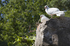 White pigeons. Couple. Stock Photos