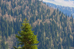 Mountain landscape with colorful forest and high snow-capped peaks of the Caucasus mountains beautiful amazing day. Green fir on the background of mountains Stock Photos