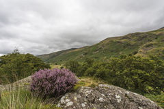Mountain Landscape with Common Heather or Ling (Calluna vulgaris Stock Photo