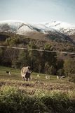 Mountain landscape composed of grass. And cows grazing in the bush stock image