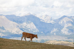 Mountain landscape with cow Stock Image