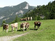 Mountain landscape with cows Stock Image