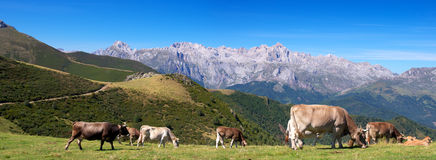 Mountain landscape with cows herd Stock Photo