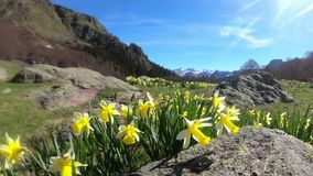 Mountain landscape with daffodils in the foreground, french Pyrenees. A mountain landscape with daffodils in the foreground, french Pyrenees stock video footage
