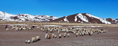 Mountain landscape and drove of sheep, Tibet Royalty Free Stock Photo