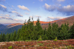 Mountain landscape with firs in the foreground. Carpathians, Ukr Stock Photo