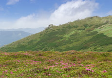 Mountain landscape with with glade of rhododendrons in the foreg Royalty Free Stock Photos