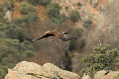 Mountain landscape with golden eagles flying Royalty Free Stock Photos